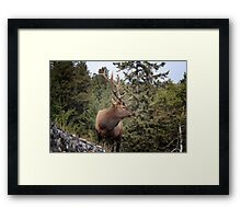 Bull Elk One Framed Print