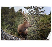 Bull Elk One Poster