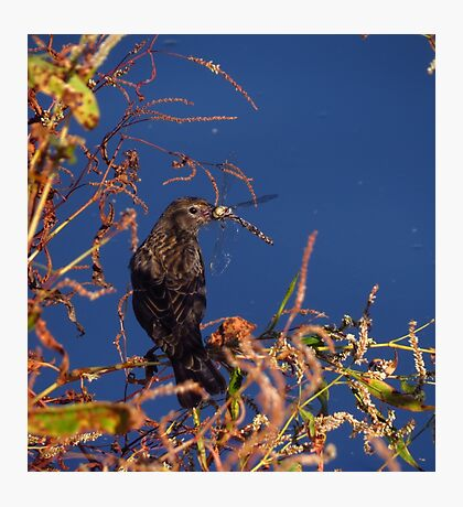 Bird eating a dragonfly Photographic Print