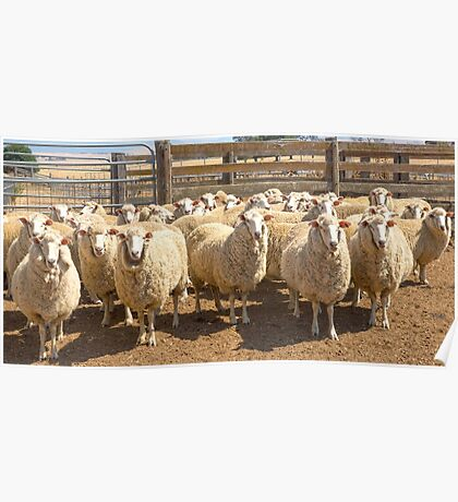 High Country Sheep At Omeo.......Off To The Shearing Shed.... Poster