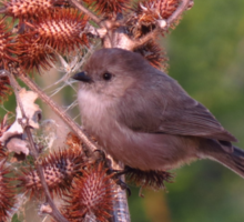 American Bushtit on a burdock stalk Sticker