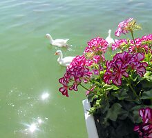 Geese and a pelargonium by IOANNA PAPANIKOLAOU