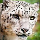 Snow Leopard by Monika Nakládalová