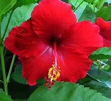 Red Hibiscus by Nathan Little