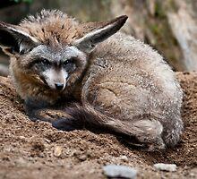 Bat-Eared Fox by Monika Nakládalová