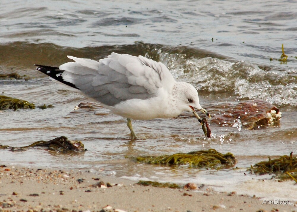 Gull with Its Find, by AnnDixon