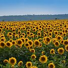 Sunflowers by Yuri Lev