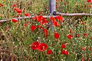 Field Poppies #2 by Elaine Teague