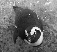 African penguin what a cutie by CliveHarris