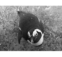 African penguin what a cutie Photographic Print