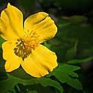 Woodpoppy - 2014 by cclaude