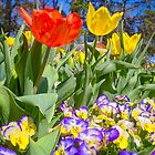 Tulip Time - Floriade Canberra by TonyCrehan