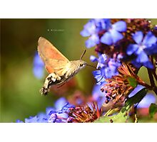 """ Humming-Bird Hawk-Moth "" Photographic Print"
