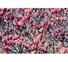 Cherry blossoms I Photographic Print