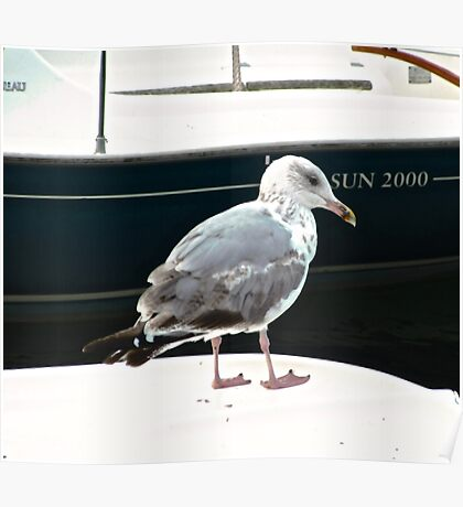 Seagull - Milk Harbour, Mullaghmore, Ireland Poster