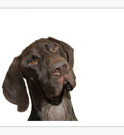 Glossy Grizzly German Shorthaired Pointer Sticker