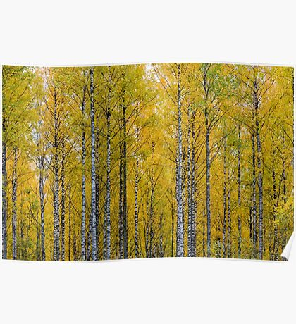 Yellow Birch Forest Poster