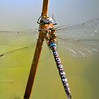 """"""" Migrant Hawker Dragonfly """" by Richard Couchman"""