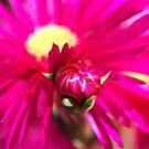 Hot Pink Ice Plant/Pigface Flower by Joy Watson