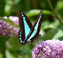 Blue Triangle, Graphium sarpedon by Trish Meyer