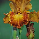 Yellow and Brown Iris By Lorraine McCarthy by Lozzar Flowers & Art