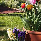 Potted Tulips by jayneeldred