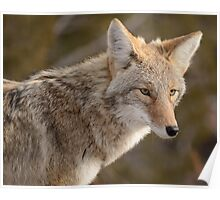 Portrait of a Bandelier Coyote Poster