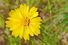 Lance-leaved Coreopsis by Graeme  Hyde