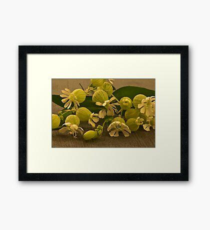 Bladder Campions - Macro  Framed Print