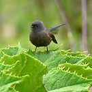 Black Morph Fantail - NZ by AndreaEL