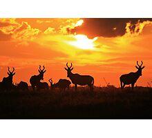 Red Hartebeest - Freedom is Golden - African Wildlife Photographic Print