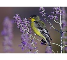 Goldfinch at Palomino Valley Photographic Print