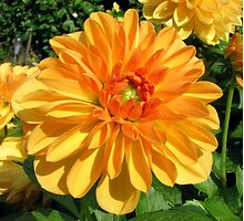 Dahlia in Our Garden in Romania by Dennis Melling