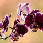 Purple Moth Orchid by Elana Bailey
