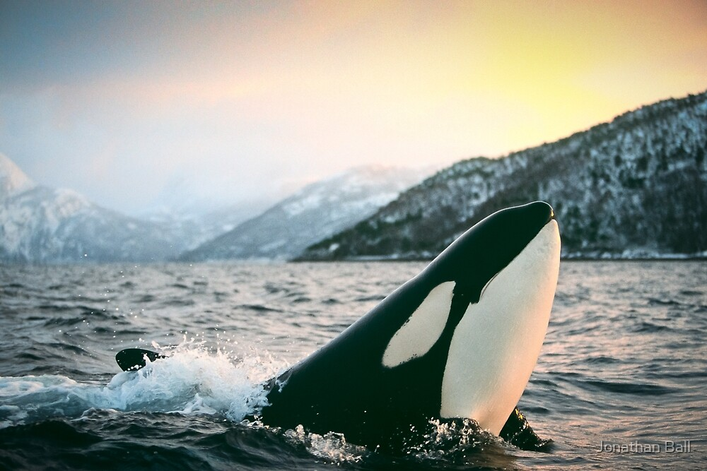 Tysfjord Norway  city photos gallery : Orca Tysfjord, Norway