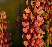 Hot Pink Lupines From My Mother's Garden - Take 2 by Georgia Mizuleva