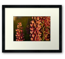 Hot Pink Lupines From My Mother's Garden - Take 2 Framed Print