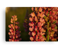 Hot Pink Lupines From My Mother's Garden - Take 2 Canvas Print