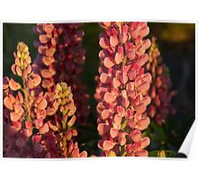 Hot Pink Lupines From My Mother's Garden Poster