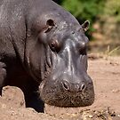 Portrait of a Hippopotamus in Botswana by Robert Kelch, M.D.