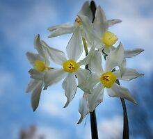 Daffodil on blue by Jeanne Kinninmont