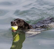 Dog swims with ball in mouth by spetenfia