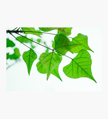heart shaped tree leaves Photographic Print