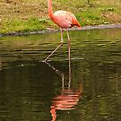Flamingo by Country  Pursuits