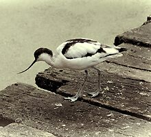 Avocet by Country  Pursuits
