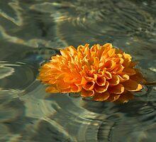 Floating Autumn - Chrysanthemum Blossom in the Fountain by Georgia Mizuleva