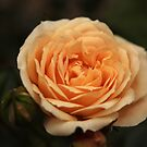 Peach rose by Agnes McGuinness