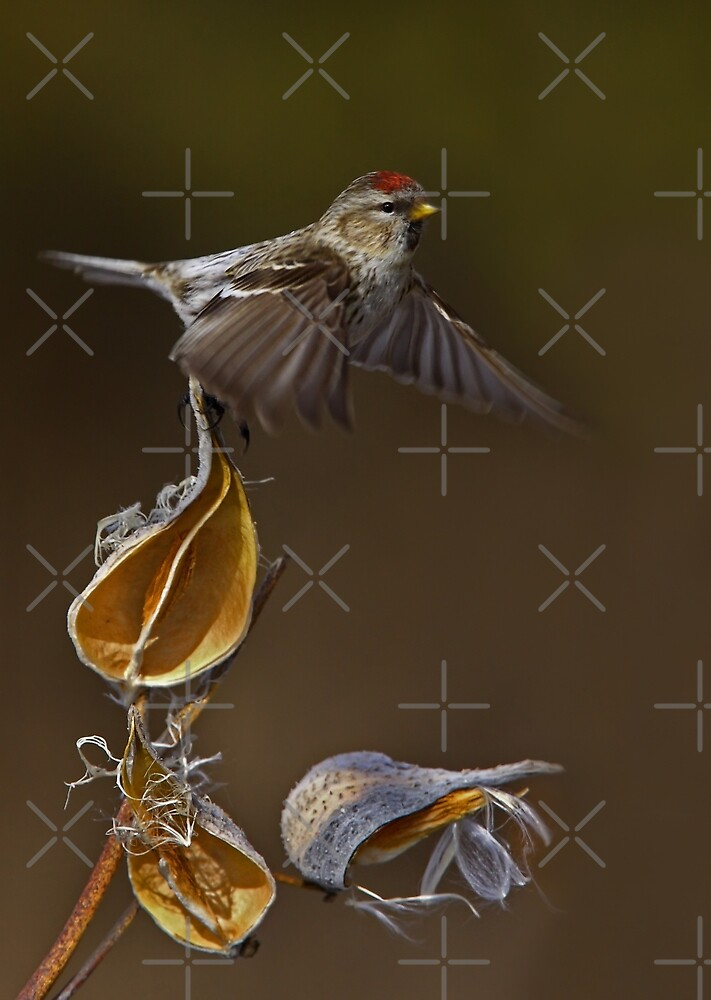 Redpoll Takes Flight by Jim Cumming