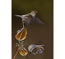 Redpoll Takes Flight Photographic Print