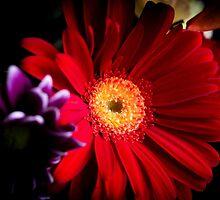 Red daisy by GemaIbarra